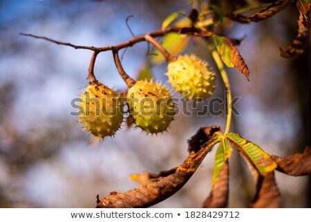 Usine shell automne fraîches Photo stock © haraldmuc