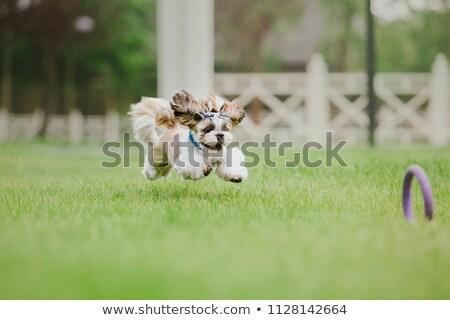 Close up of cute running Shih-Tzu dog Stock photo © Kirill_M