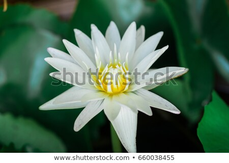 Yellow lilly over white background Stock photo © Nejron