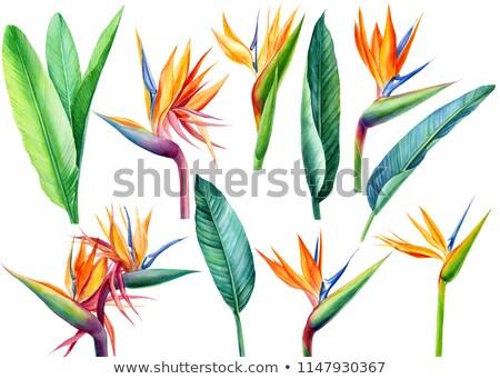 Colorful orange tropical strelitzia flowers Stock photo © juniart
