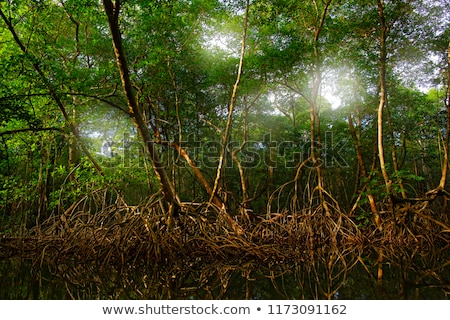Red Mangrove Roots in the Tropics Stock photo © wildnerdpix
