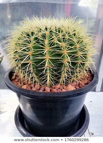 кактус · большой · острый · хвоя · красоту - Сток-фото © latent