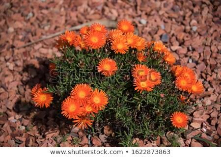 Laranja tipo suculento flor macro Foto stock © mroz