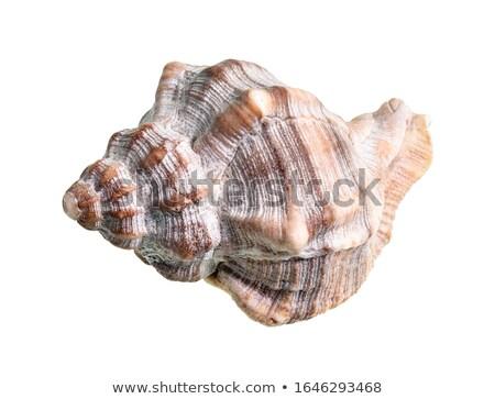 Mollusco sfondo bianco fresche frutti di mare isolato Foto d'archivio © M-studio
