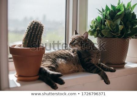 Kaktüs pot güneş pencere stok fotoğraf Stok fotoğraf © nalinratphi
