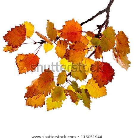 Automne peuplier arbres soleil après-midi Photo stock © skylight