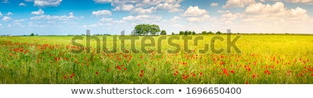 sundown poppy field landscape with golden sky stock photo © taiga