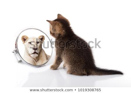 oroszlán · bámul · vad · közvetlenül · kamera · háttér - stock fotó © kentoh