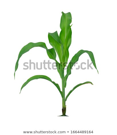 Cooking corn in pot Stock photo © simply