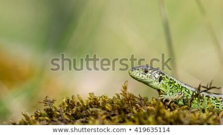 トカゲ 砂 だけ 野生動物 砂漠 ストックフォト © artjazz