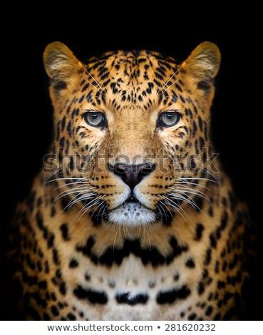 Leopard on Black Background Stock photo © derocz