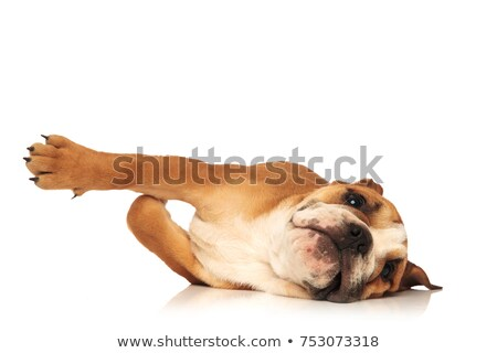 playful english bulldog puppy is rolling on the floor Stock photo © feedough