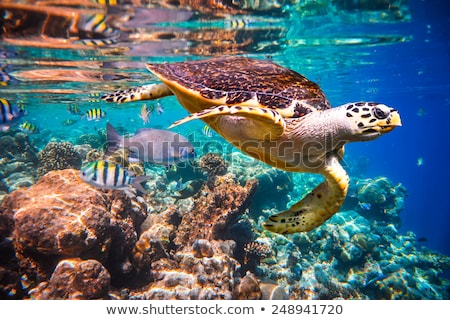 Sea turtle swims under water on the background of coral reefs Stock photo © cookelma