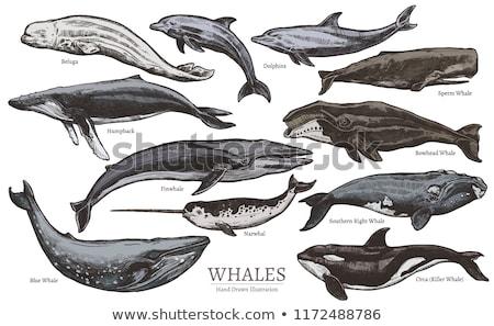 Okyanus dev balina vektör sanat Stok fotoğraf © vector1st