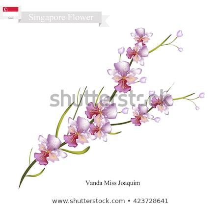 Lila orchidea Szingapúr zászló illusztráció virág Stock fotó © colematt