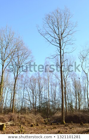 Tall, bare-branched trees in a coppiced clearing Stock photo © sarahdoow