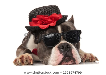 classy american bully wearing collar and sunglasses looks to sid Stock photo © feedough