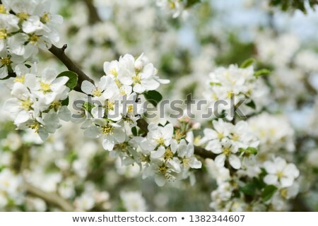 White Malus Rosehip crab apple blossom on a btanch Stock photo © sarahdoow