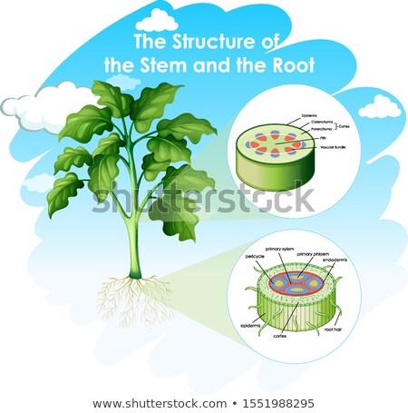 Tonen structuur stengel wortel illustratie natuur Stockfoto © bluering
