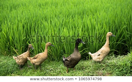 Group of ducks on side of rice fields in Bali Stock photo © galitskaya