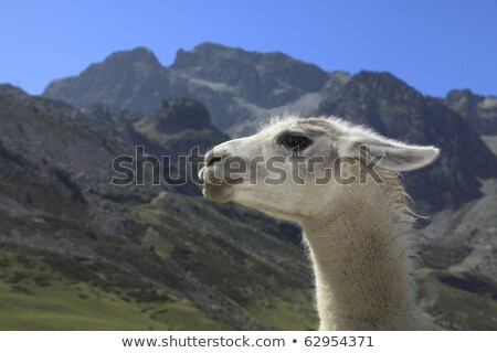 Lama profile and Pyrenees Mountains Stock photo © RazvanPhotography