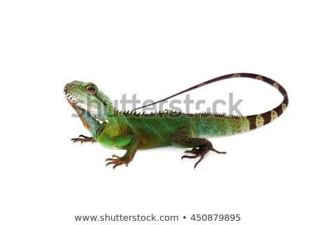 lagarto · olhando · câmera · central · barbudo · dragão - foto stock © arrxxx