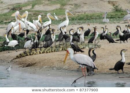 Oiseaux crocodile Ouganda reine parc Photo stock © prill