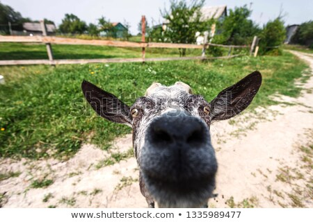 Goat watch in lens with curious look Stock photo © vetdoctor