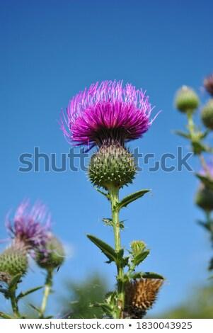 Thistle Flower Stock photo © Bertl123