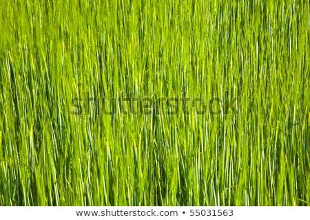 Mooie groene mais harmonisch structuur voorjaar Stockfoto © meinzahn