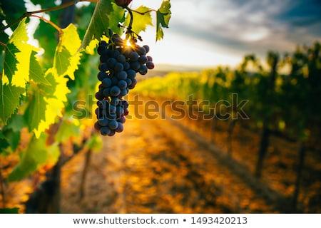 coucher · du · soleil · vignoble · automne · terre · domaine - photo stock © smuki