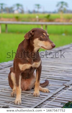 Pigro beagle piedi erba caldo estate Foto d'archivio © taviphoto