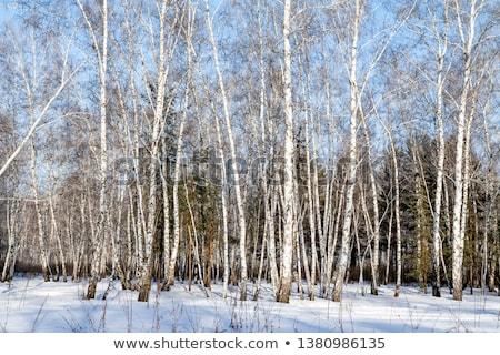 Tél nyírfa erdő út tájkép fény Stock fotó © chesterf