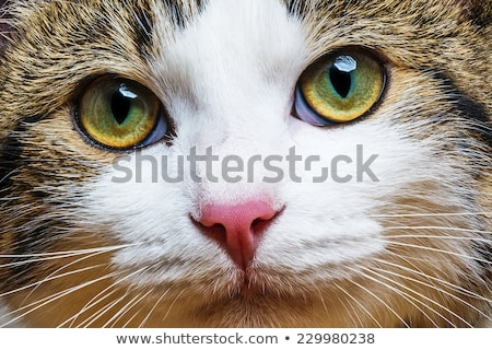 cat close up stock photo © taden
