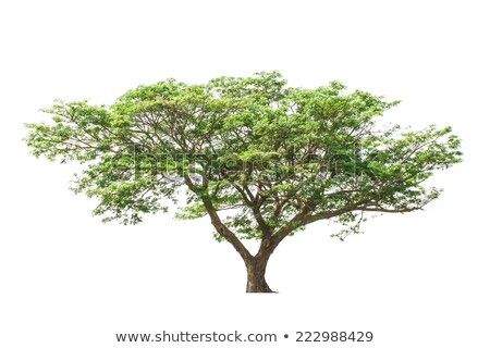 Egyedüli zöld fa izolált fehér puha Stock fotó © Anterovium
