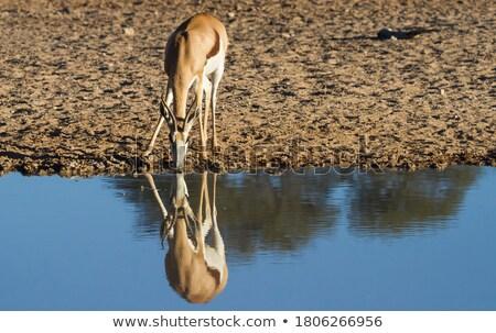 Springbok antelope (Antidorcas marsupialis), close-up, drinking Stock photo © michaklootwijk