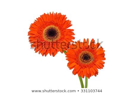 Vivid orange gerbera daisy in a bouquet Stock photo © juniart