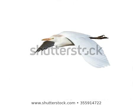 A Cattle Egret (Bubulcus ibis) in flight Stock photo © davemontreuil