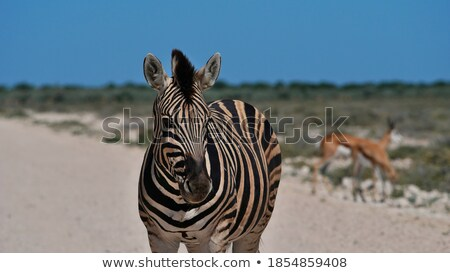 Plains Zebra and Springbok Stock photo © dirkr