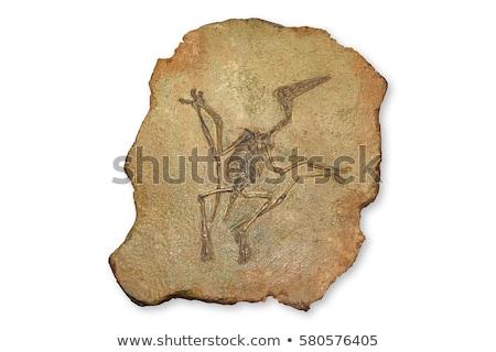 öreg kövület gyűjtemény izolált fehér háttér Stock fotó © jonnysek