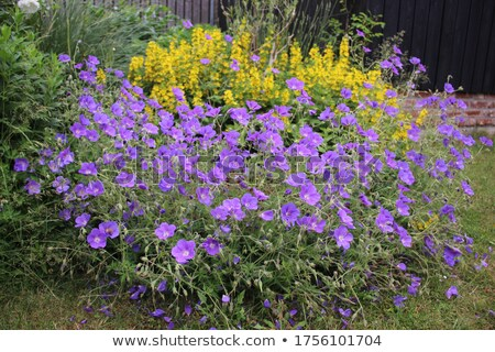 Blue Geranium with yellow plants  Stock photo © ptichka
