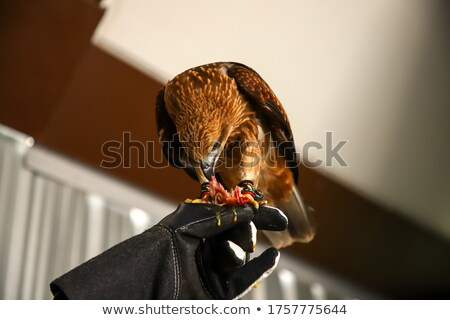 hawk on the falconer gloves and eating meat Stock photo © vladacanon