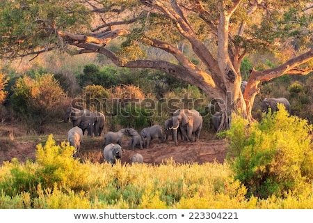 Tusks of an Elephant in the Kruger National Park Stock photo © simoneeman