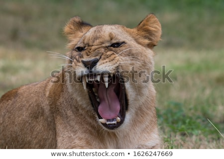Wild Cats. White Tiger Stock photo © ConceptCafe