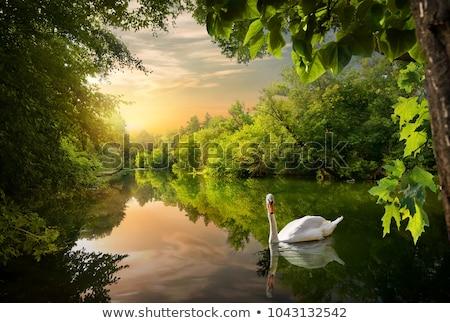 Oiseau cygne lac rive blanche adulte Photo stock © EFischen