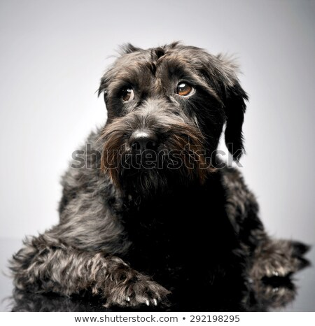 sad mixed breed wired hair dog lying in studio stock photo © vauvau