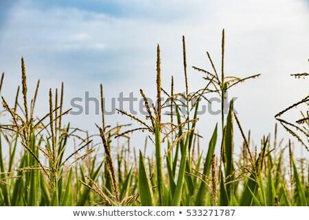 Levelek indiai kukorica részlet harmat cseppek Stock fotó © meinzahn