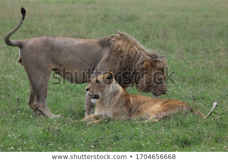 mating couple of lions in the high grass stock photo © simoneeman