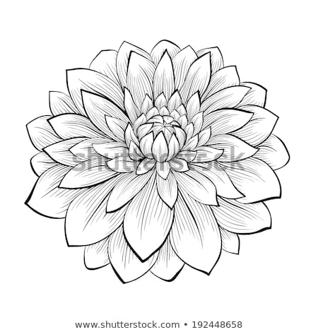 beautiful monochrome dahlia isolated Stock photo © frescomovie