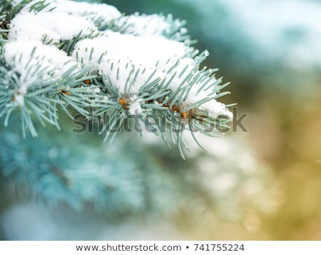 Frozen Fir Twigs January Stock photo © limbi007